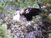 El polluelo de águila ibérica de Cabañeros...