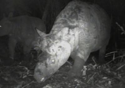 El rinoceronte de Java